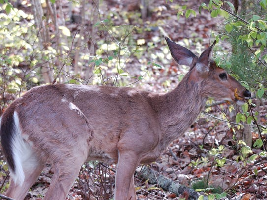 A whitetail deer finds refuge in the shade of the mountains.