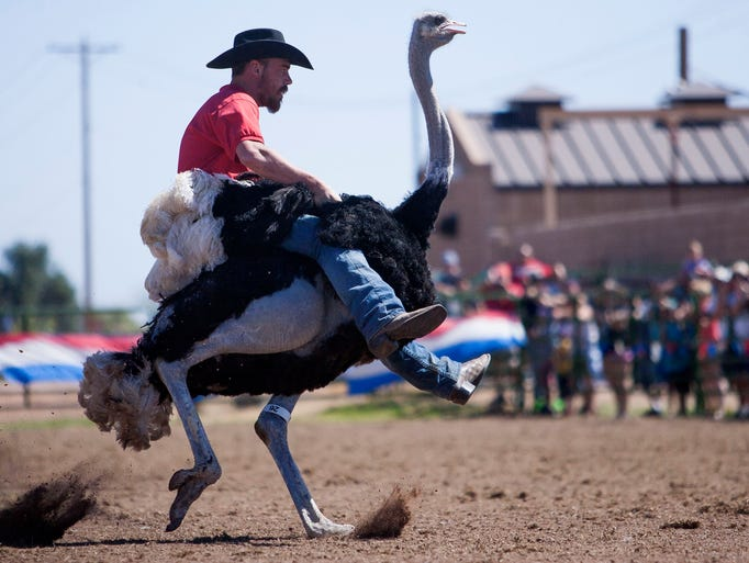 the race is on at chandler ostrich festival