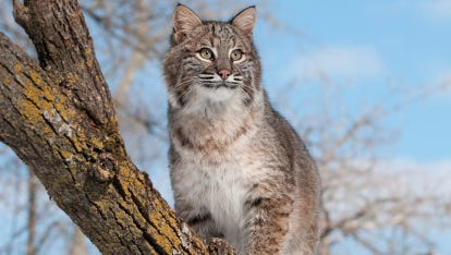 Bobcats are not often seen in Wisconsin, but that doesn't mean they're rare. The population in the state is believed to be about 3,500.