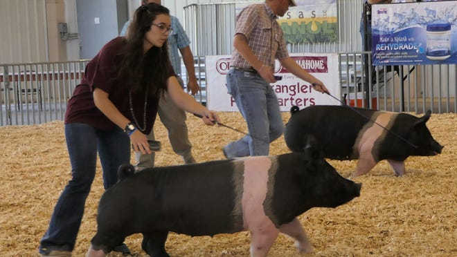 Contestants are showing their Hampshire Gilt pigs on September 4, 2020 at the Kansas State Fair.