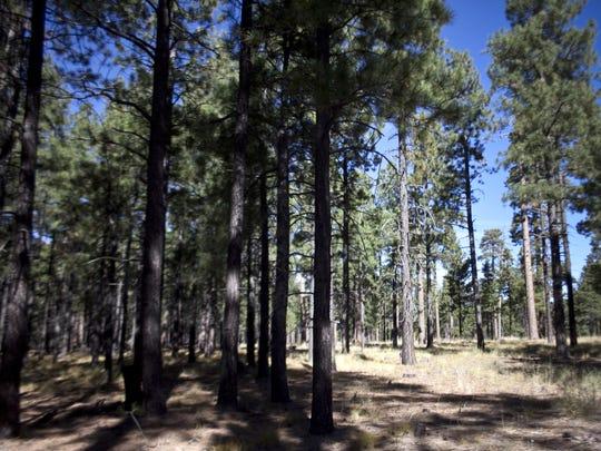 Selective logging of ponderosa pines creates a patchwork