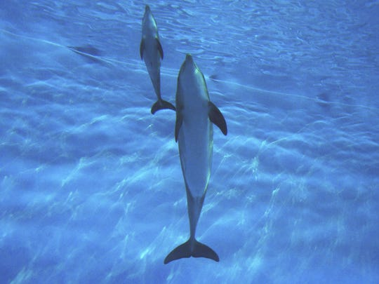 Baby dolphin Calypso swims with her mother at the Indianapolis Zoo. Photo by Michael crowther, zoo president