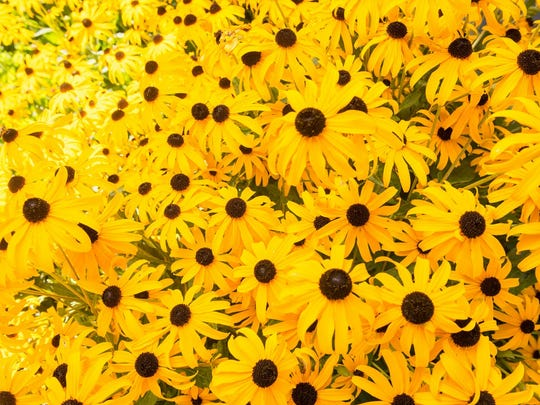 Black-eyed Susans are late-blooming perennials that don't require much water.
