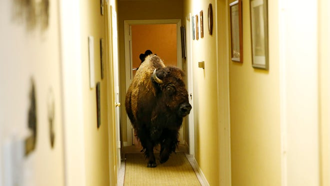 Bullet, a bison, walks through the hallway of her owner Karen Schoeve's home in Argyle, Texas on Friday, May 13, 2016. Bullet the bison was transported Saturday from Schoeve's home in Argyle to her new home, a pasture which she will share with two cows, 15 miles away in Flower Mound.