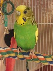 Amigo the parakeet.