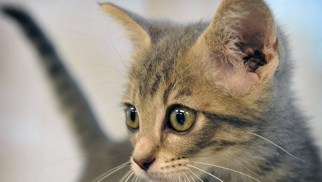 Miami is an 8-week-old, gray, male kitten. He is animated and playful and available for adoption at the Wichita Falls Animal Services Center.