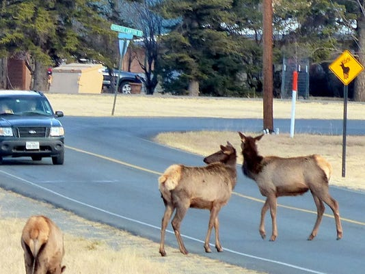 elk-in-road-with-sign-and-car.JPG