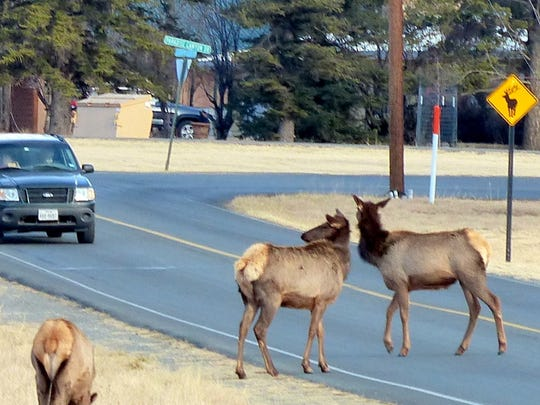 Two elk stare down a car as they stand in the middle of Country Club Drive next to a sign warning of their preference to cross there.