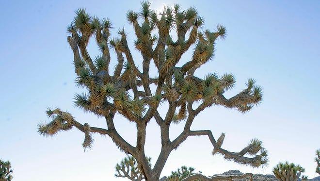 A Joshua tree at Joshua Tree National Park, seen on July 22, 2011.