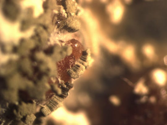A type of insect-killing fungus, Metarhizium anisopliae, collects on a mass of orange-colored black-legged tick eggs in this undated photo provided by the Cary Institute of Ecosystem Studies.