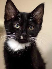 Smudge is an adorable, male domestic short hair kitten with beautiful markings. He is playful and loves people. Find him at Montgomery County Animal Care and Control, 616 N. Spring St., 931-648-5750, www.facebook.com/MontgomeryCountyAdoptionServices.