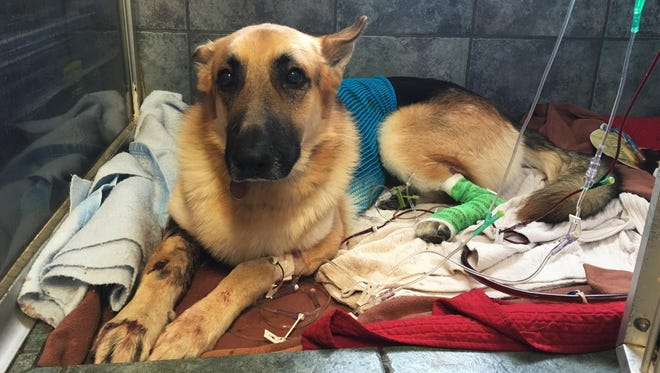 Haus, a German Shepherd, recovers from a snake bite at Blue Pearl in Tampa on Friday. When a venomous Eastern diamondback rattlesnake appeared in the backyard of a 7-year-old Florida girl, Haus came to her rescue.
