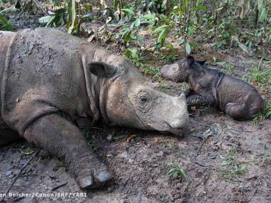A Sumatran rhino calf with Cincinnati ties is pictured with her mother, Ratu.