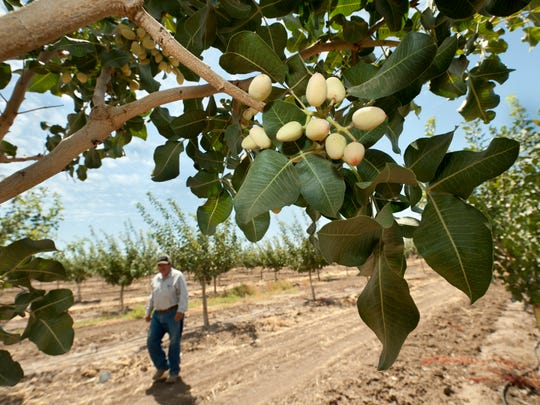 Fernando Cortez walks among 4-year-old Kerman pistachio trees in Fresno County in August. Pistachios are among the crops that suffered this year because of water shortages.
