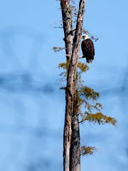 A bald eagle, one of a mating pair, can often be seen in the trees on private land visible from the Wolf River a short ways down river from the La Grange boat ramp.