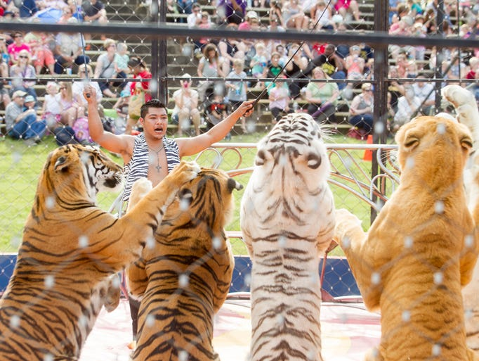 Michael Ramos instructs tigers during the main show the annual Shriners Circus held at the Johnson County Fairgrounds in Iowa City, IA on Tuesday, May 27, 2014.