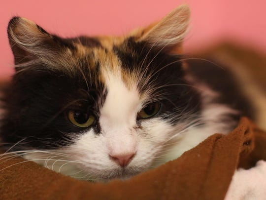 """Someone to Netflix with Name: Gizzy Description:Long-haired calico female Bio: I like meeting new people, but I don't want to be """"on"""" all the time, you know? I don't like going out at all would rather just stay in and cuddle. Brush my fur and tell me I'm pretty."""