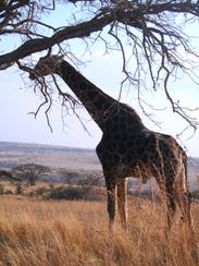 For your South African adventure, go to: Thomas@wildearthexpeditions.com.