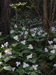 Trilliums at Highlands Nature Sanctuary 2.JPG