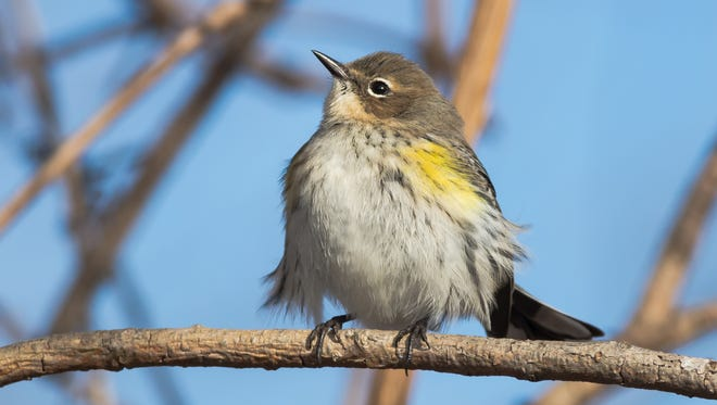 Yellow-rumped warbler is the bird of the month.