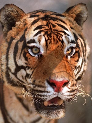 Shere Kahn, his nose burned, whiskers singed, and eye lashes burned off, as he appeared a day after a wildfire swept through the Animal Ark in August 1999