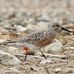 This red knot, designated U7L, was banded in April 2012.