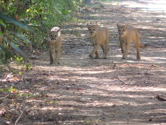 A Florida Panther mom and two cubs were seen walking in the Florida Panther National Wildlife Refuge.