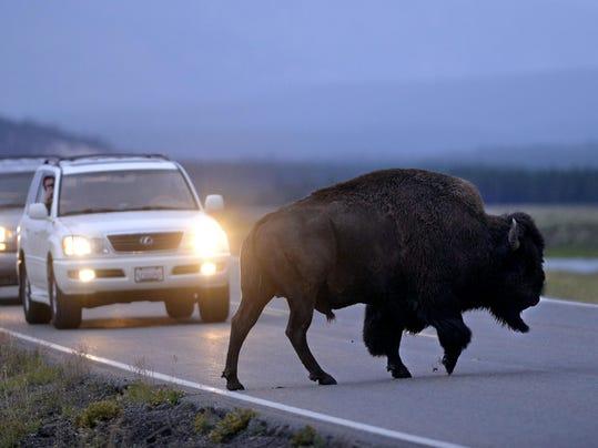 -08142017_bison crosses road-a.jpg_20170822.jpg