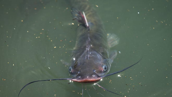 Catfish are added to Arizona community lakes and ponds as part of the Game and Fish Department's Community Fishing Program.