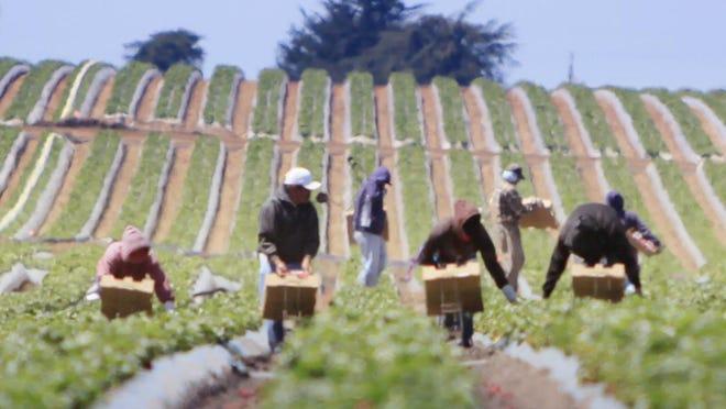 Farm workers harvest strawberries by the pallet near Zmudowski State Beach in Moss Landing.