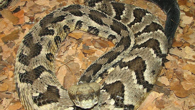 The Wildlife Resources Commission definitely has not been dropping snakes, including timber rattlers like the one pictured here, from planes.