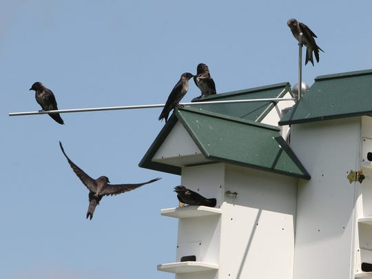 Purple Martins at Rockland Country Club in Sparkill