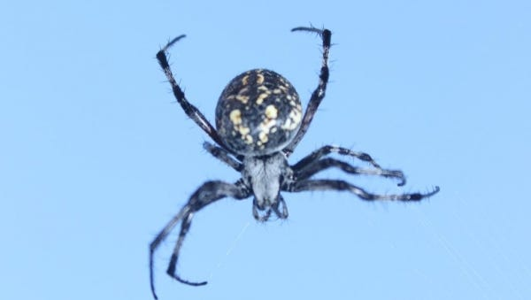 The Humpbacked Orbweaver is quite beneficial, as it feeds on flying pests such as flies and mosquitoes.