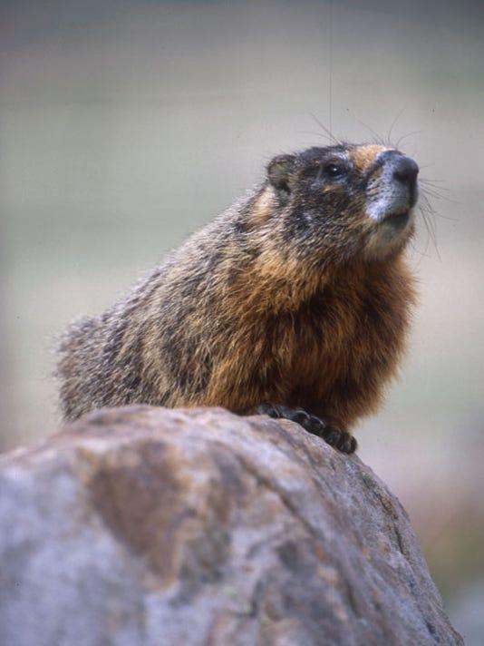Marmot 1.jpg