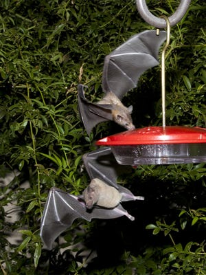 Lesser long-nosed bats guzzle nectar from a hummingbird feeder during a citizen science bat migration monitoring project in southern Arizona in 2013.