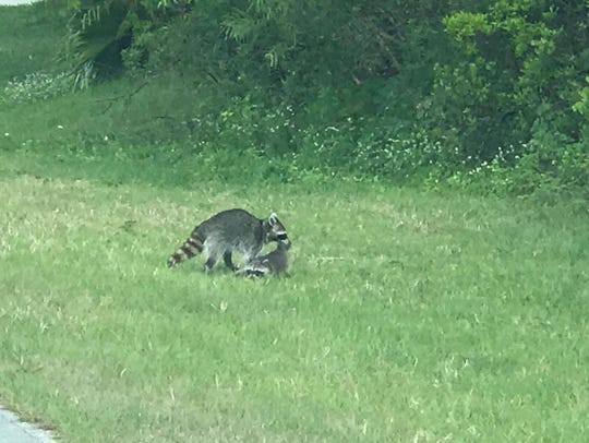 Reader Patrick Keeney spotted this raccoon moving her
