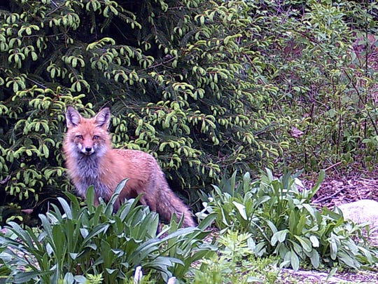 Red fox vixen caught on trail cam in our Yorktown backyard,