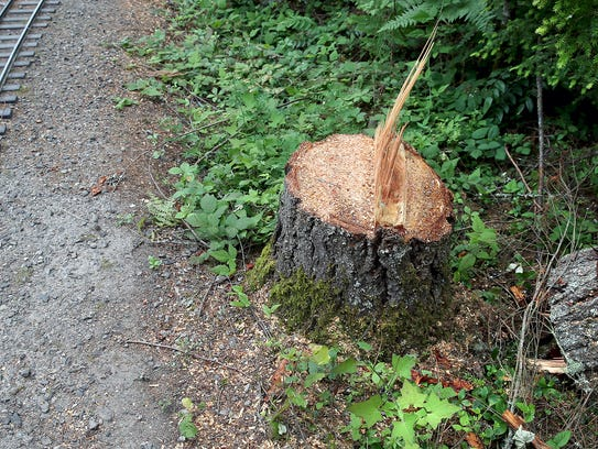A stump of one of the trees cut down at South Kitsap