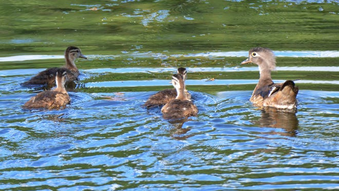 A female Wood duck and her ducklings at a local state park.