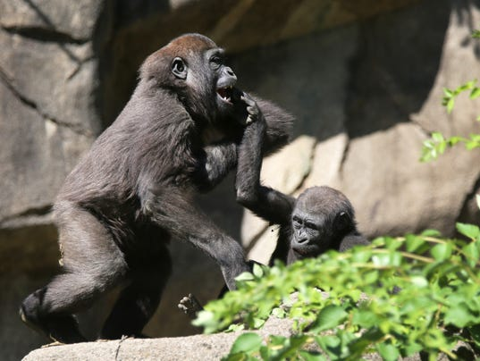 June 7, 2016: Cincinnati Zoo and Botanical Garden, Harambe, Gorilla, Liz Dufour
