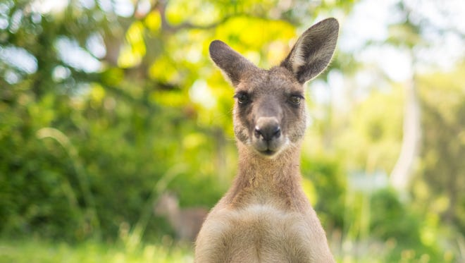 A young kangaroo is looking to camera at open field.