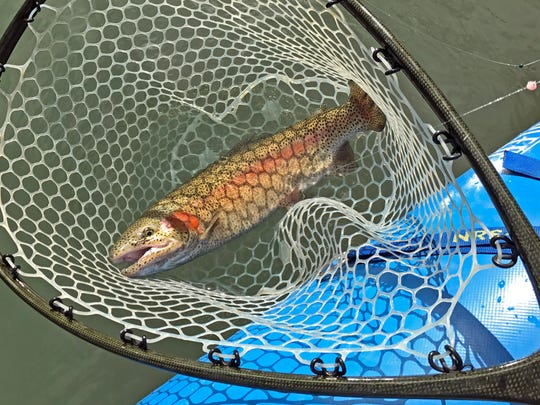 We caught stocky rainbows up to about 24 inches. They'll be in the Guadalupe through March and maybe into April.