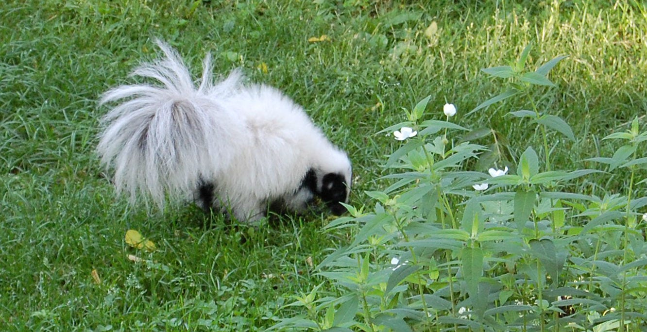 Ray Ziarno Took The Photo Of A White Skunk In His Backyard.