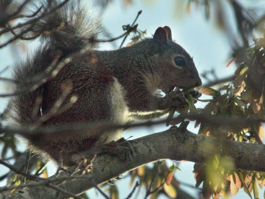 Gray squirrels are an invasive pest in England.