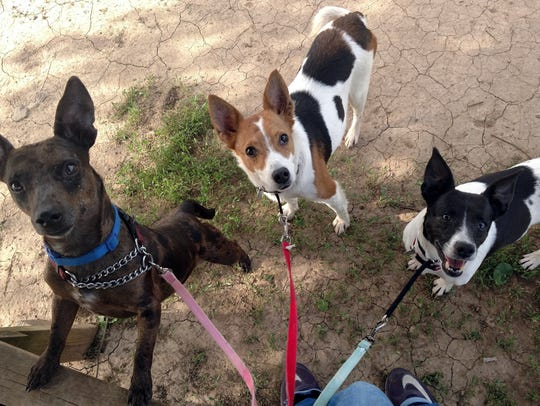 Dobby, Cali and Lady are young, terrier-mix siblings