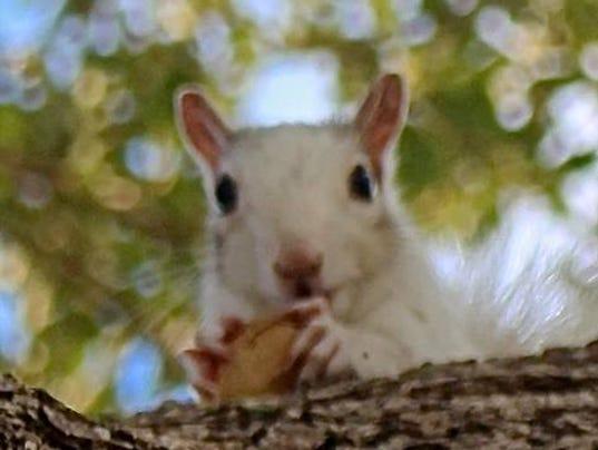 Indialantic white squirrel