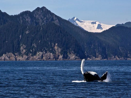 A whale twirls in Kenai Fjords National Park