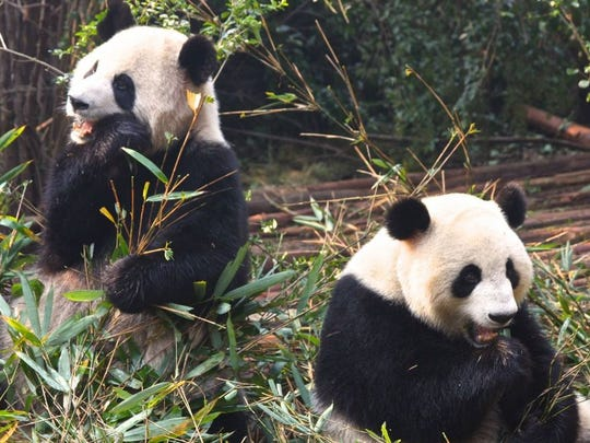 Pandas munch bamboo and tumble around on a playground at Giant Panda Base near Chengdu, China