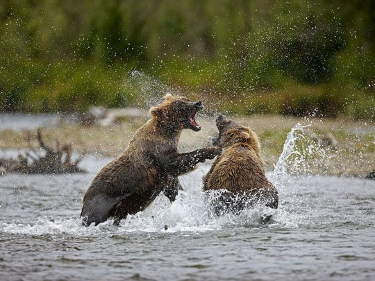 Grizzlies (brown bears) having a smackdown in Katmai National Park