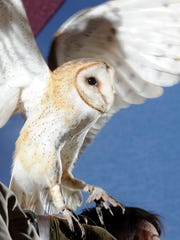A docent with the Little Rock Zoo holds a barn owl during a past Eagle Awareness program.